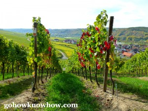 Grape vines begun to turn colors in the fall in Sommerhausen
